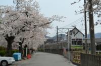 ④南桜通り→満開