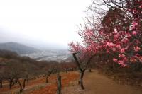 宝登山ロウバイ園 05