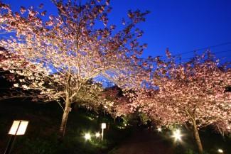 通り抜けの桜 ライトアップ