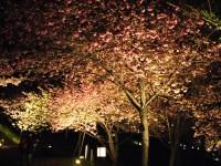 通り抜けの桜(夜) (1)
