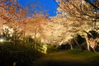通り抜けの桜ライトアップ(2)