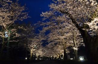 北桜通りライトアップ2