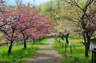 通り抜けの桜(昼)