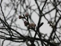 道光寺の桜 (7)