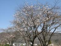 道光寺の桜 (1)