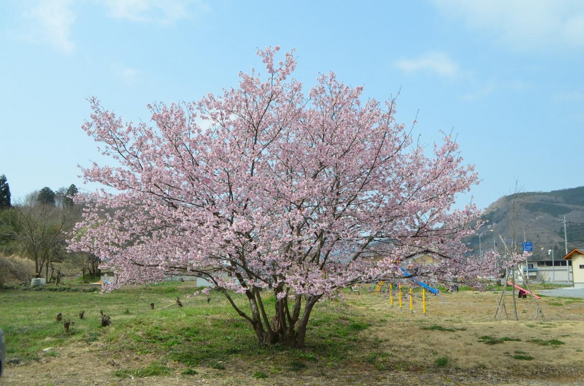 長瀞桜まつり2018